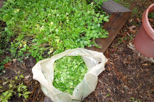 Parsley Harvest